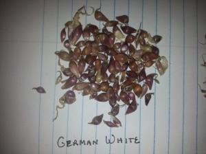 German White Garlic Bulbils