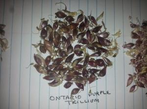 Ontario Purple Trillium Garlic Bulbils
