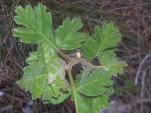 Golden Current (Ribes aureum)