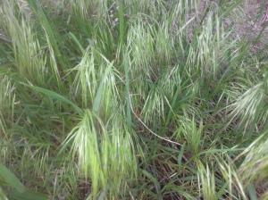 Cheat Grass (Bromus tectorum)