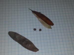 Redbud Seed