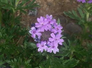 Purple Verbena (Glandularia bipinnatifida)