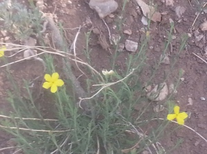 New Mexico Yellow Flax