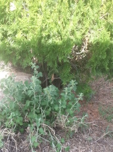 Horehound in situ