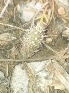 NM Spinystar Cactus (Escobaria vivipara var. neomexicana)