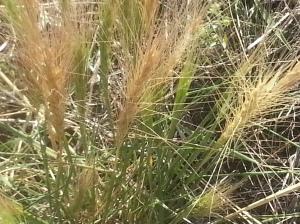 Ripe Foxtail Barley