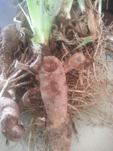 German Bearded Iris roots